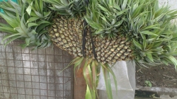 TRIPPLE CROWN PINEAPPLE